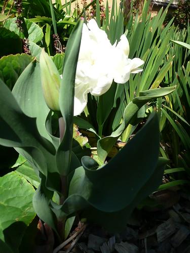 white parrot tulip1