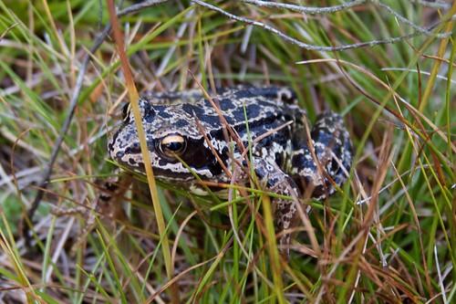 Common frog