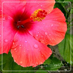 Diamantes del cielo (Diana Kotori ( SS)) Tags: flower nature garden droplets flor gotas hibiscus jardn hibiscuswonder theultimatehibiscuswonder ufcontest2