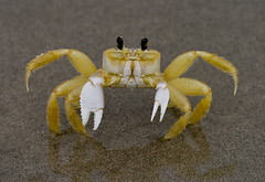 Ghost Crab (JasonPPFL) Tags: ocean white black beach nature yellow canon sand florida crustacean soe pincers blackeyes eyestalks ghostcrab xti platinumphoto flickrdiamond theunforgettablepictures sigma120400mmos