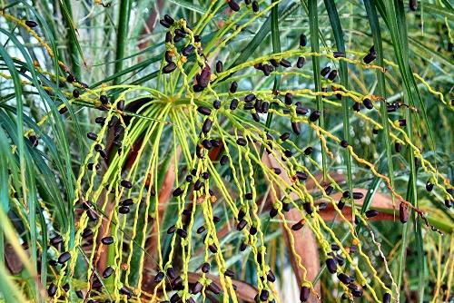 Phoenix roebelinii (rq) - 02