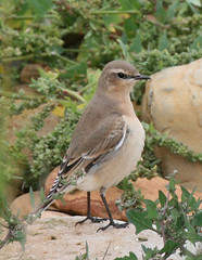 Tame Northern Wheatear at Kingsbarns (Jacqui Herrington:) Tags: bird nature scotland fife wildlife wheatear kingsbarns oenantheoenanthe