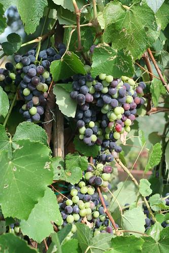 Grapes_7740