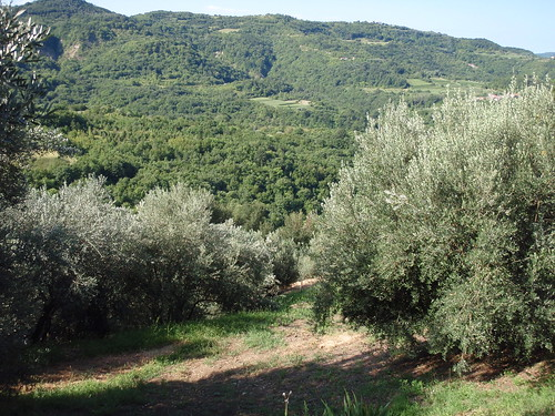Oliver's olive grove is on a steep hill