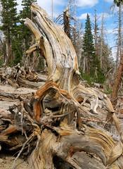 Uprooted (Joyce-Tex-Buckner) Tags: california wood trees plants nature pine landscape lakes mammoth sierras theplantman