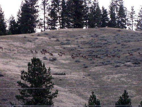 Early morning elk-2