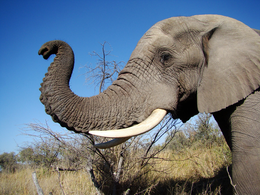 Groves understood how the livelihood of his beloved elephants depended    African Elephant Drawing Trunk Up