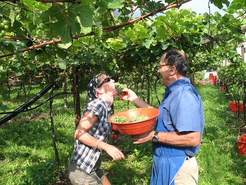 Weinlese (Traubenverkostung) undter den Weinbergen