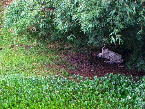 Namaste, the white bengal tiger