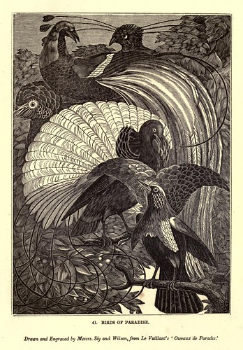 002-Aves del paraiso-One hundred and fifty wood cuts, selected from the Penny magazine 1835