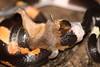 Flame Snake (Manuel Mejia Photography) Tags: nature photography amazon snake wildlife reptiles colubridae snakeeating yasuni oxyrhopus oxyrhopuspetola manuelmejia