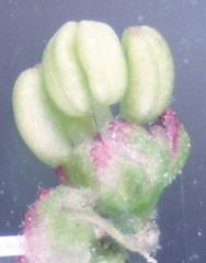 37    1451-000005-640 (h35312) Tags: 37  zelkova makino serrata ulmaceae  thunb urticales      1451000005640