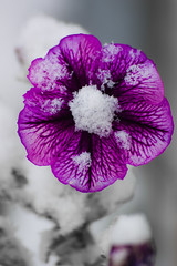 Ultra Violet (~~Chris~~) Tags: city flowers canada flower macro beauty closeup canon time adorable sigma thoughts thinking reality 70300mm ultraviolet focused thunderbay dreamscape peacefull colourfull captioning desirable thingers canonsigma sigmacanon