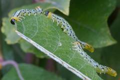 caterpillar (joe_goodings) Tags: insects caterpillar d300 sigma105mm