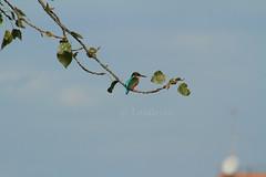 Canon 7D (Landersz) Tags: bird nature natura kingfisher 800mm caffarella martinpescatore canon7d