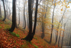 october in the balkan woods (.:: Maya ::.) Tags: old mountain eye nature misty landscape woods maya bulgaria beech oragne bulgarie bulgarien          mayaeyecom mayakarkalicheva  wwwmayaeyecom