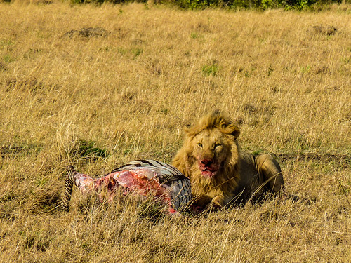 Lions with their kill, Maasai Mara, Kenya