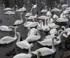 Mute Swans, Edinburgh
