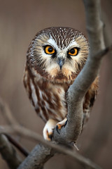 Like I Give A Hoot (Megan Lorenz) Tags: wild ontario canada tree bird nature closeup outdoors published branch looking little wildlife small watching hamilton tiny owl getty curious predator staring alert avian birdofprey stoneycreek wideeyed wildanimals sawwhetowl perching sawwhet northernsawwhetowl blurredbackground specanimal avianexcellence alemdagqualityonlyclub meganlorenz vosplusbellesphotos mlorenzphotography favoritenw10 yesmilesitsanotherpigeon photocontesttnc12