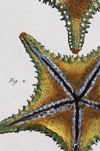 //Asterias//, Jean Baptiste Lamarck. Tableau Encyclopédique et Méthodique des Trois Regnes de la Nature, Paris 1791-1798. Photograph by D Dunlop.