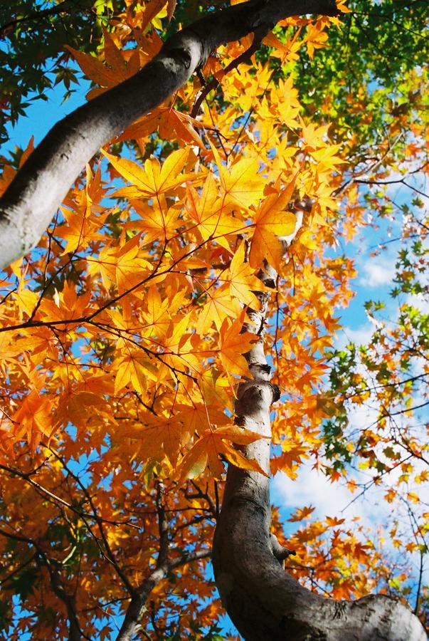 紅葉狩 leaf peeping