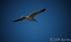 En la playa - parte (Uriel Akira) Tags: sky bird mexico flying seagull playa ave cielo pajaro veracruz beachs gaviota volando coatza coatzacoalcos
