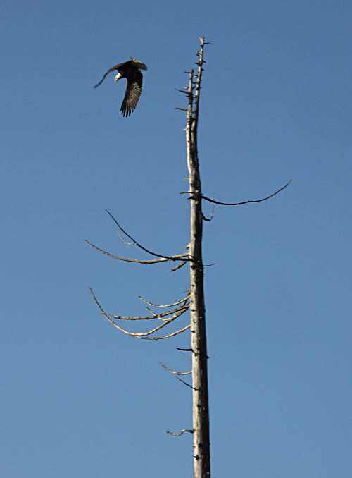 a bald eagle leaves its perch atop a tree near Kasaan, Alaska