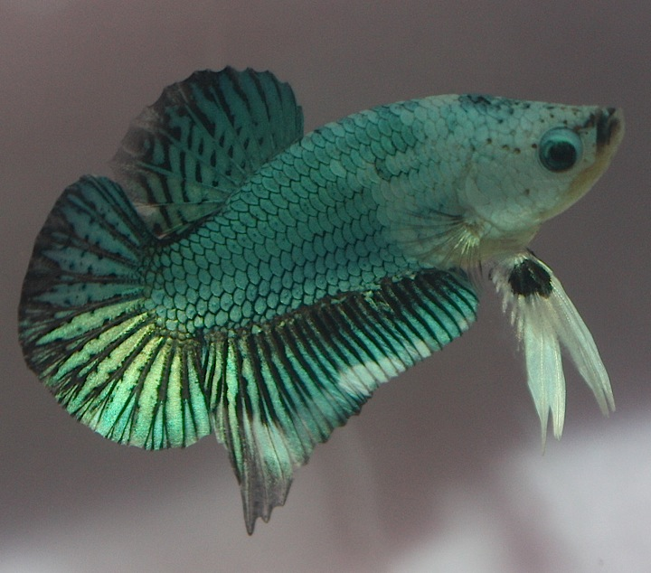 betta s koa betta ??????? betta tank male betta fish tank ...