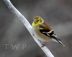 American Gold (WanderWorks) Tags: white canada black bird eye yellow newfoundland foot labrador branch goldfinch tail wing beak feathers claw talon american americangoldfinch carduelistristis carduelis tristis dsc8644nc1g