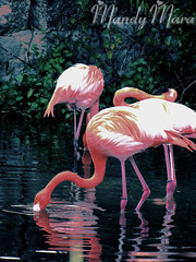 Pretty In Pink (Amanda Mara- Moment In Time Photography) Tags: mandy new amanda toronto contrast photoshop zoo flamingo mara mandi mandimara