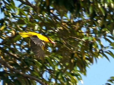 Black-naped Oriole in flight