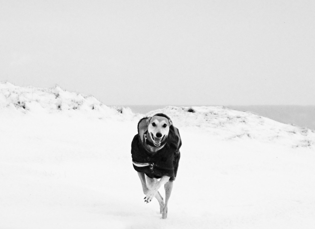 Dylan the Lurcher Running in Snow