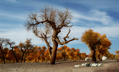 0055 Autumn in my Heart-- Inner Mongolia , China (ngchongkin) Tags: autumn niceshot harmony soe shiningstar yurts musictomyeyes innermongolia favoritephotos awesomeshot hiddentreasure thegalaxy beautifulshot superphotographer theworldinmyeyes anythingyoulike diamondheart peaceaward avpa flickrhearts flickraward mycameraneverlies photosandcalendar flickrbronzeaward crystalawards heartawards ultimategold diamondstars eperkeaward platinumheartawards betterthangood flickridol worldwidelandscapes flickrestrellas beautifulaward thebestshot natureselegantshots spiritofphotography discoveryphotos 469photographer naturesphotos grouptripod panoramafotogrfico photographersworld photographerparadise artofimages fabbow angelawards friendswhocare greatshotss visionaryartsgallery contactaward naturesprime youandtheworld pegasusaward flickrsgottalent bestpeopleschoice zodiacawards virgiliocompany mygearandme poppyawards fireworksofphotos fabulousplanetevo esenciadelanaturaleza betterthangoodlevel2 goldstarawardlevel1 flickrbronzetrophy photographyforrecreationgoldaward photographyforrecreationemeraldaward photographyforrecreationsilveraward photographyforrecreationbronzeaward highqualityimagequaifiedmembersonly theadminsandtheirfavorites naturethepeopleinthenature