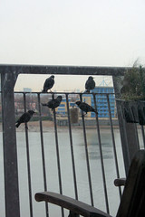 Starlings on the balcony