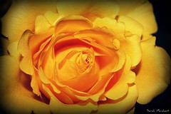 Yellow Rose (Shaleesa) Tags: worldbest