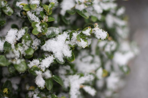 snow boxwood