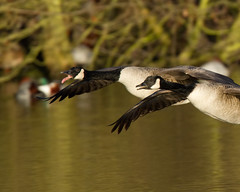 You looking at me (Andrew Haynes Wildlife Images) Tags: eye nature tongue geese wildlife flight feathers brandon marsh warwickshire canon7d ajh2008