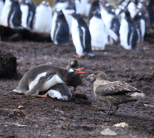 Gentoo Penguin guards its chick from Brown Skuas by Liam Q