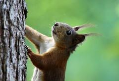 quick climber (vil.sandi) Tags: nature forest munich mammal squirrel climbing eichhörnchen thewildlife artistoftheyearlevel3 artistoftheyearlevel4 artistoftheyearlevel5 artistoftheyearlevel6