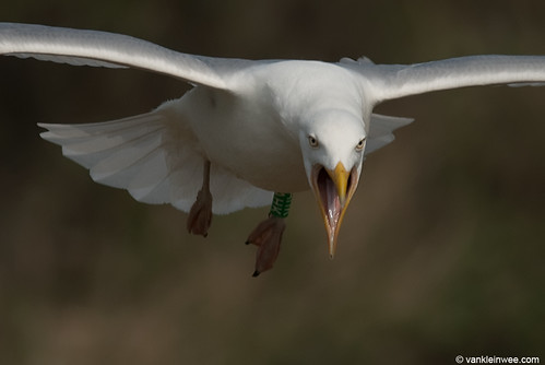 European Herring Gull, >6cy, G[F.AHK]