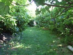 Columbia fig trees (ebethouise) Tags: ecovillage