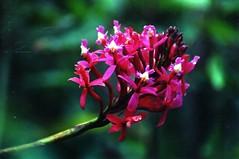 Epidendrum secundum at Machu Picchu