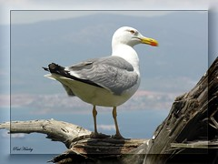 Yellow-Legged Gull [Larus cachinnans] (ColnePoint) Tags: birds spring spain nikon gull may 100views coolpix therock gibraltar 50views naturesfinest 8800 laruscachinnans yellowleggedgull therockofgibraltar upperrock algeserias