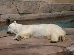 P6070044 (jenprice) Tags: polarbear cuties milwaukeecozoo