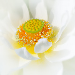 purity in the mud (ajpscs) Tags: summer flower macro japan japanese tokyo interestingness pond nikon waterlily lotus explore  nippon  saitama    d300 waterplant aquaticplant nelumbonucifera gyoda  ajpscs divinebeauty aquaticperennial beautyfrommud divinesymbol   hasunohana kodaihasunosato kodaihasu