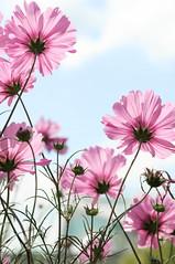 a bug's view ('PixelPlacebo') Tags: pink blue summer sky flower garden warm zurich sunny pale botanic zürich garten cosmos upwards schmuckkörbchen bipinnatus kosmee schmuckblume fiederblättrige