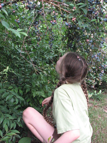 Rabbiteye blueberries are tall and prolific.