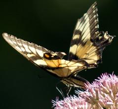 DSC05150 (Stephen Little) Tags: butterfly beercan virginiabirdingandwildlifetrail vinthillfarmspark jstephenlittlejr