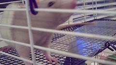 Rat Flicks (4) (sjipp) Tags: rat lasvegas goldennugget fremontstreetexperience summerof1969