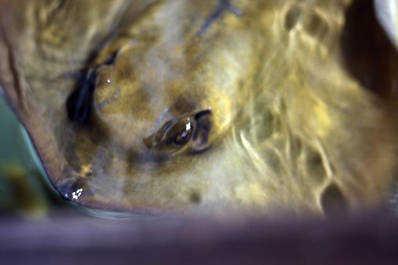 aquarium ray fish